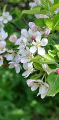 A photo of Crab Apple