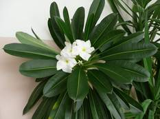 A white Pachypodium lamerei flower with green leaves