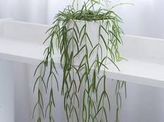A green Hoya linearis plant in a white pot