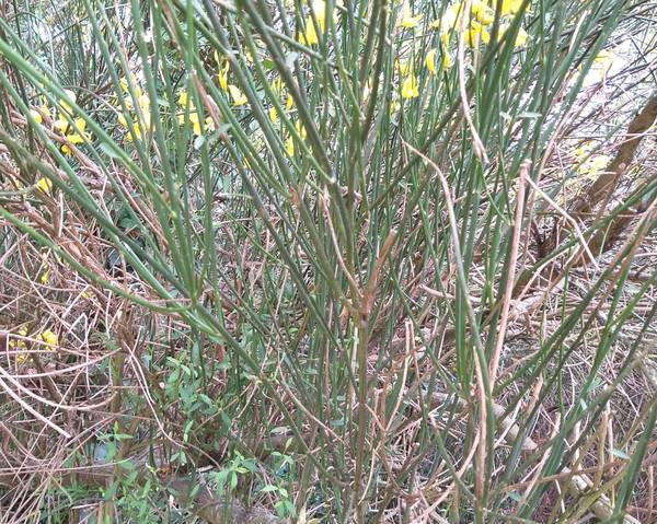 A picture of a Spanish Broom