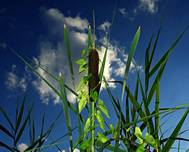 A photo of Bulrush