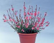 A photo of Gaura 'Pink'