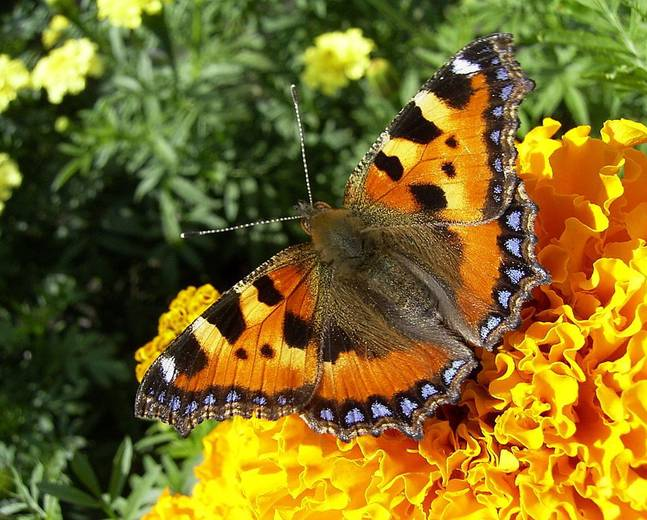 A close up image of small tortoiseshell butterfly Aglais urticae drinking nectar from a orange flower