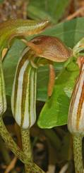 A photo of Arisarum