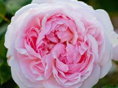 A close p of a many petaled pink Rosa 'Eglantyne' flower