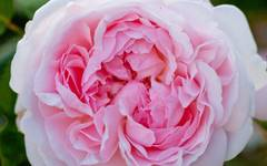 A photo of English Shrub Rose 'Eglantyne'