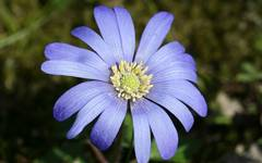A photo of Apennine Anemone