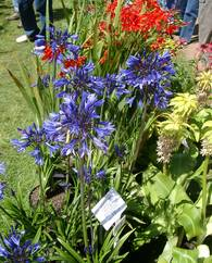 A photo of Bell Agapanthus