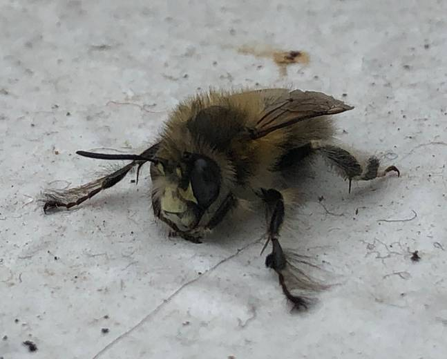 A close up of a Anthophora plumipes on a wall