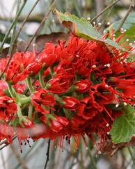 A photo of Natal Bottlebrush