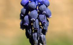 A photo of Common Grape Hyacinth