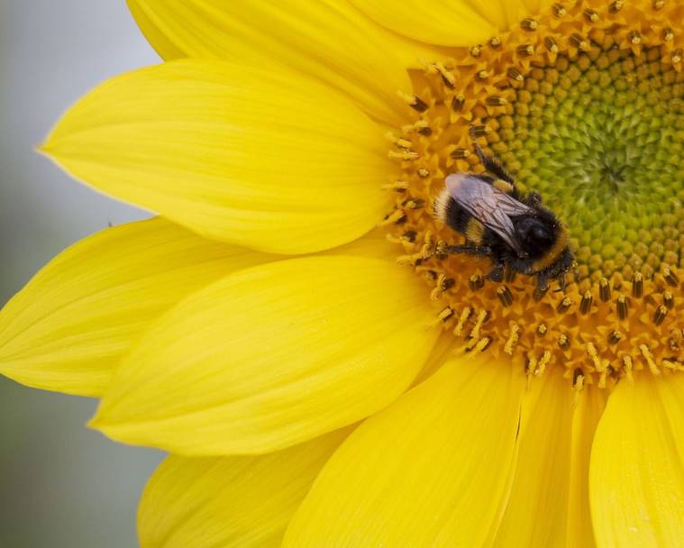 A bumblebee on a sunflower
