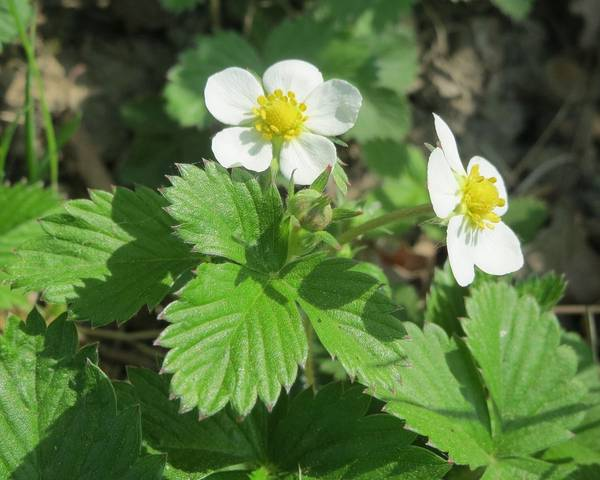 A picture of a Wild Strawberry 'Tiobelle'