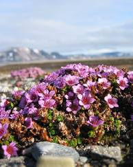 A photo of Alpines