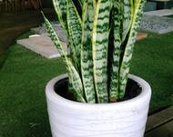 A green Sansevieria plant in a white pot