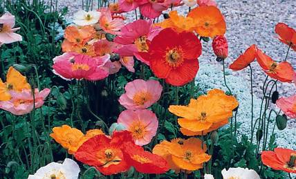 Iceland Poppy Champagne Bubbles
