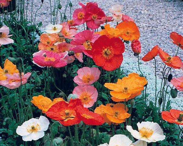 A picture of a Iceland Poppy Champagne Bubbles