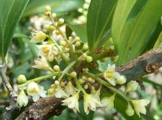 A close up of some Cinnamomum flowers