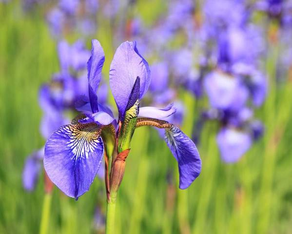 A picture of a Iris