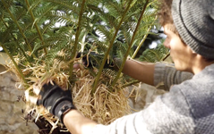 Wrap your tree fern for winter