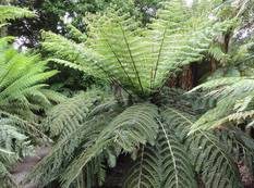 A Cyathea dealbata plant in a forest