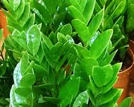 A close up of a green Zamioculcas plant