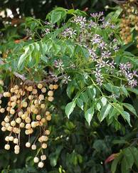 A photo of Syringa Berrytree