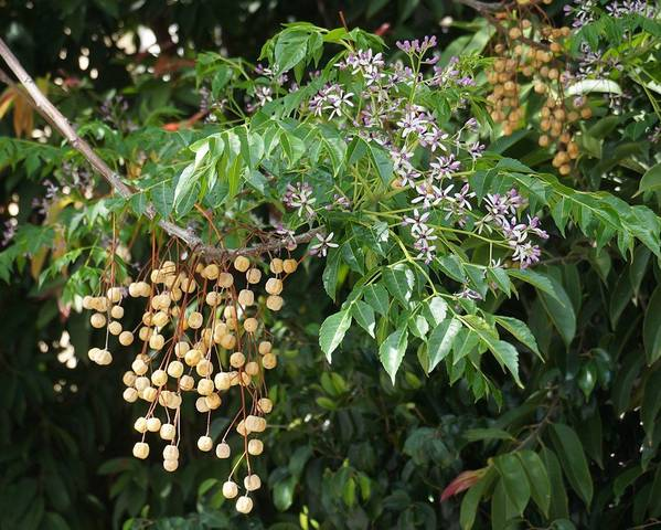A picture of a Syringa Berrytree