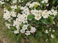 A close up of some white Crataegus laevigata flowers