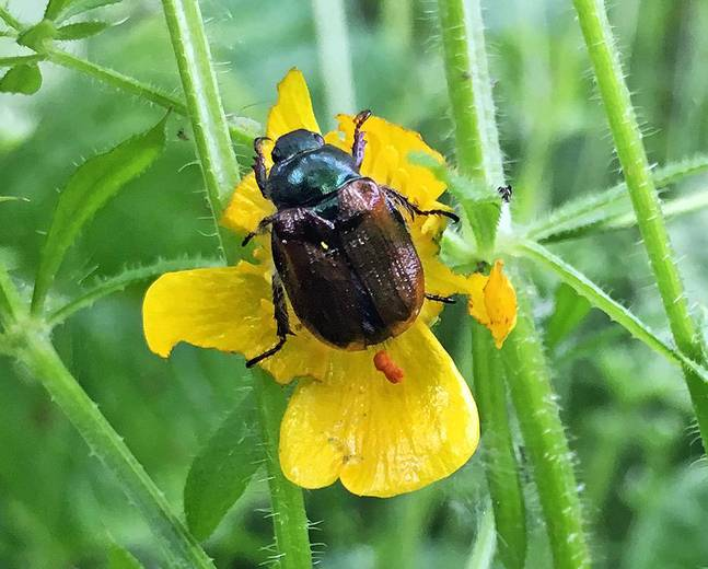 A Phyllopertha horticola Garden Chafer Beetle on a flower