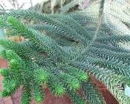 Araucaria luxurians leaves 02 by Line1