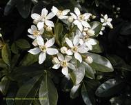A photo of Mexican Orange Blossom