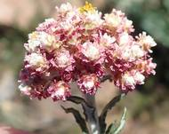 A photo of Helichrysum felinum