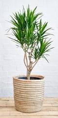 A photo of Dracaena