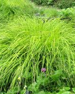A photo of Bowles' Golden Sedge