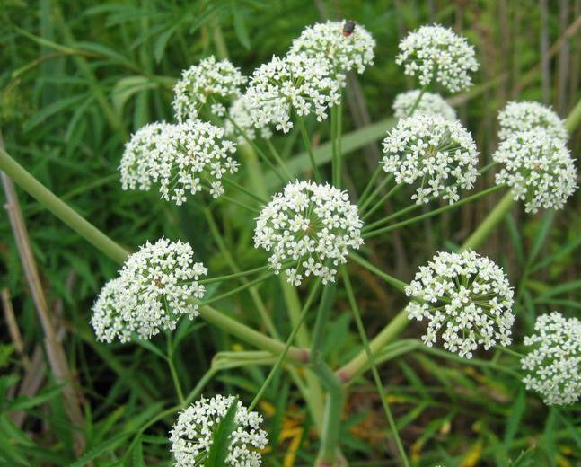 Cowbane (Cicuta virosa) - Plants | Candide Gardening