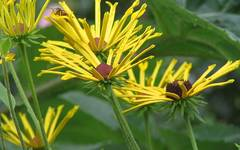 A photo of Sweet Coneflower