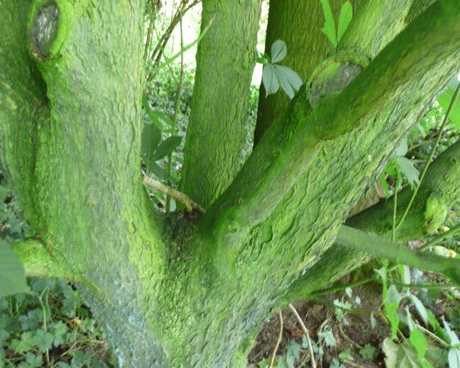 A close up of a green Aesculus flava tree trunk