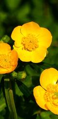 A photo of Creeping Buttercup