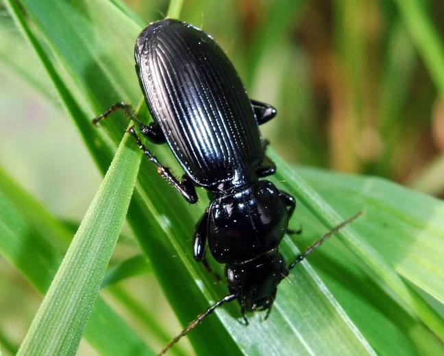 A close up image of a black clock ground beetle Black Clock Pterostichus madidus walking on a blade of grass