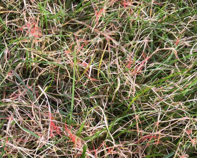 A close up of some red thread growing in some grass