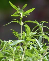 A photo of Summer Savory