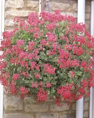 A photo of Ivy-Leaved Pelargonium 'Evka'