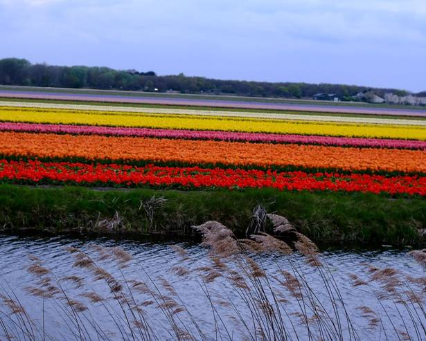 The Dutch bulb fields in spring