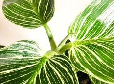 A close up of a green and white variegated Philodendron 'Birkin' plant