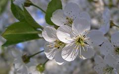A photo of Blackthorn