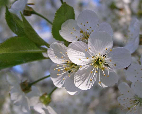 A picture of a Blackthorn