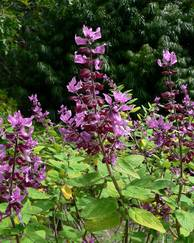 A photo of Syncolostemon