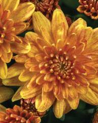 A photo of Chrysanthemum 'Belgian Garden Mums'