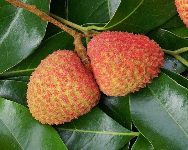 A picture of a Lychee